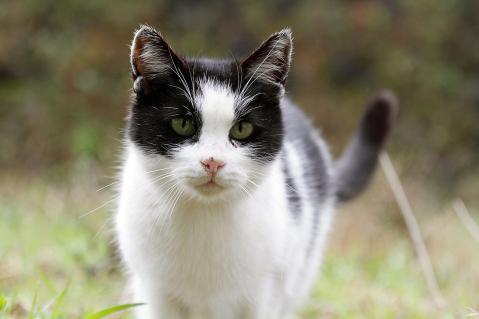 寄って来る白黒猫