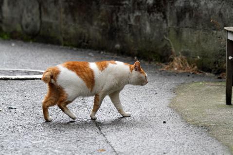 道を横切る茶白猫