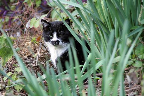 畑に黒白猫