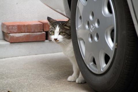 タイヤの陰からのぞく猫