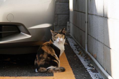 駐車場の三毛猫