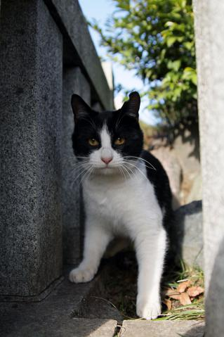 猫じゃらしを見つめるハチワレ