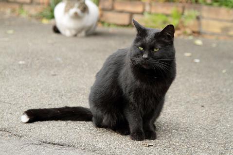 尻尾の白い黒猫