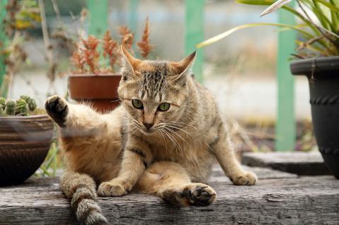 勝利の茶猫