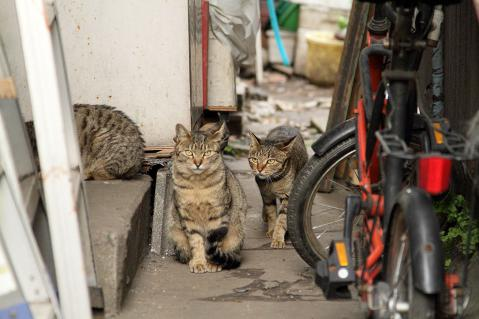 3匹のキジトラ