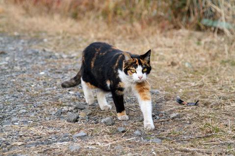 三毛猫ウォーキング