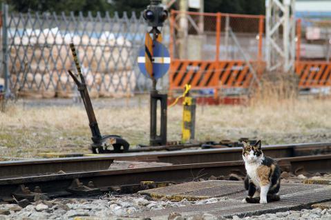 線路で遊ぶ三毛猫