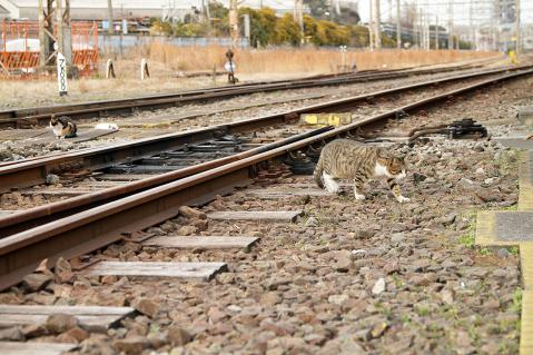 線路に下りたキジ白