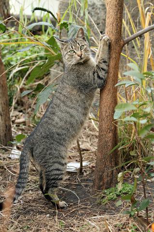 爪とぎのキジトラ