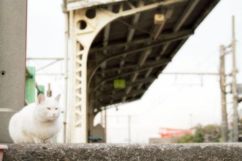 ユルユル風白猫