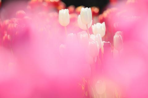 ピンクの中の白