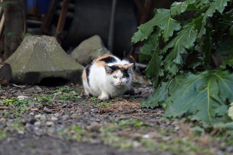 警戒モードの三毛猫