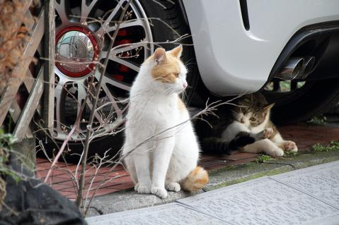 車の脇の茶白猫