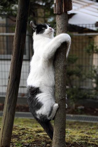 木登りハチワレ
