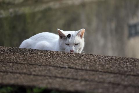 ワンポイント白猫
