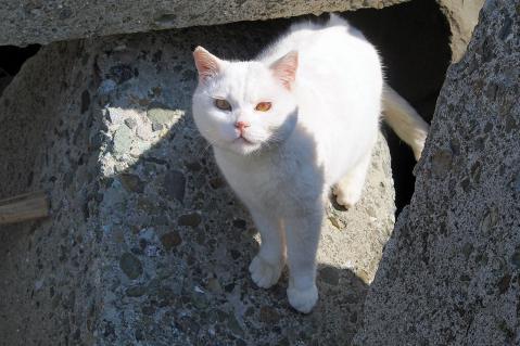 テトラポットの白猫