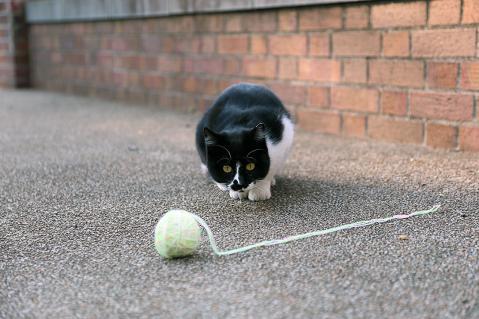 毛玉ボールで遊ぶハチワレ