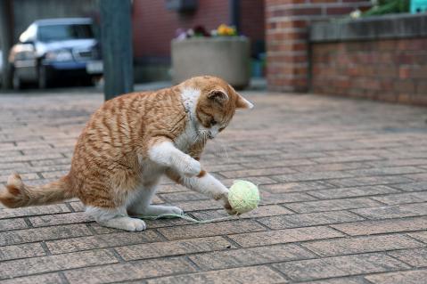 茶白の毛玉ボール遊び