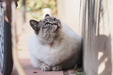 見上げる洋猫