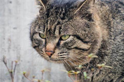 顔の大きなキジトラ
