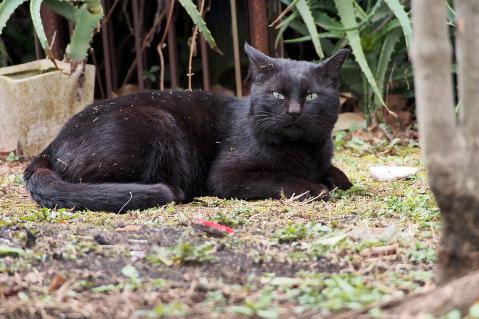 芝生で寛ぐ黒猫