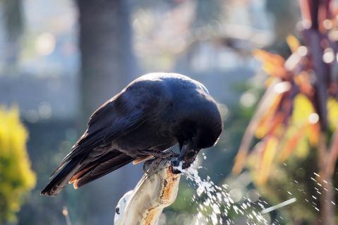 水を飲むカラス