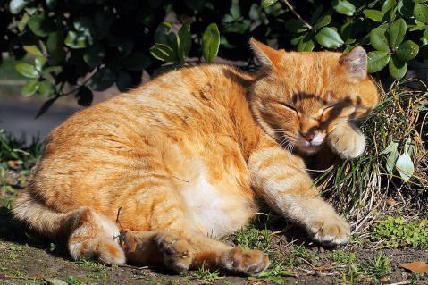 草むらで寝る茶トラ