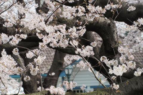 山手公園の桜
