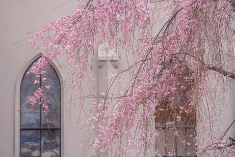 教会の枝垂桜