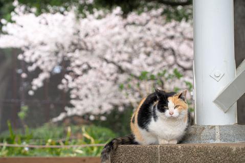 みずきと桜