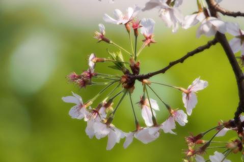 桜のリング
