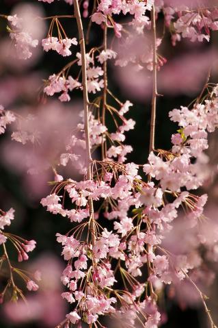 日比谷公園の枝垂れ桜