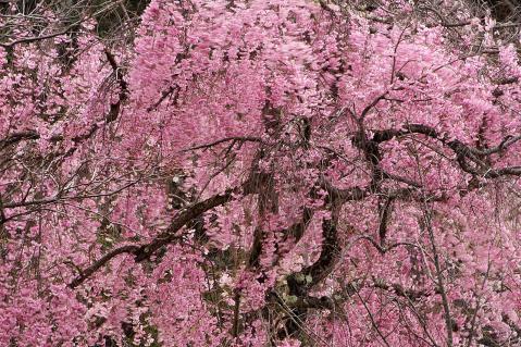 小河内ダムの枝垂桜