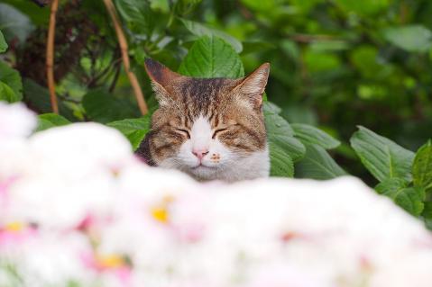 たぬきと言う猫