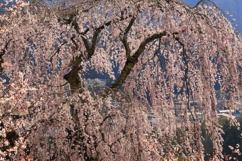弁天さんの枝垂れ桜