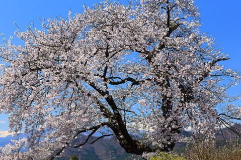 高山村資料館前の桜
