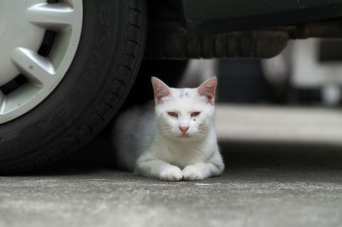 車の下で香箱座りの白猫