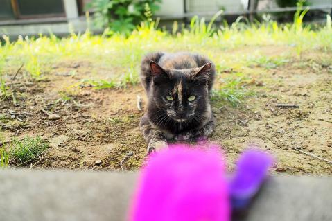 じゃらしを見つめる猫