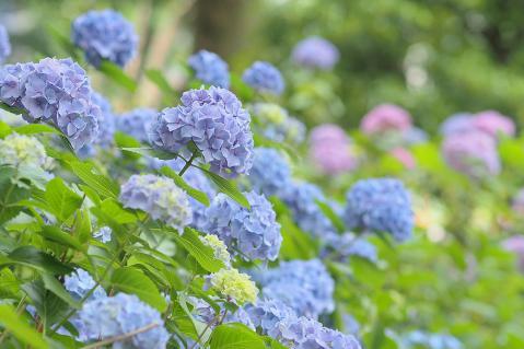 青い紫陽花の群生