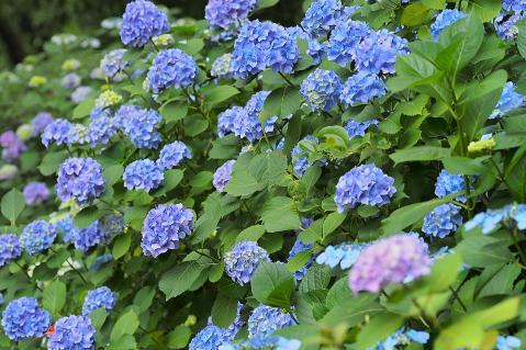 咲き乱れる紫陽花