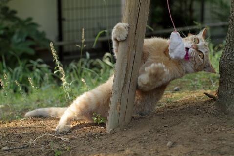 じゃらしで遊ぶコトラ
