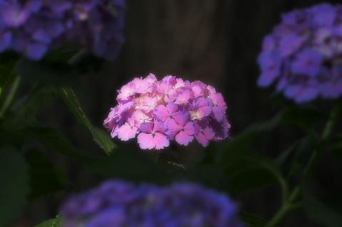 スポットライトの当る紫陽花