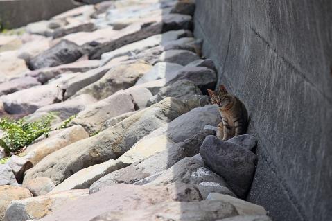 日陰のキジトラ