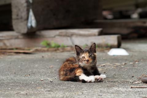 狸みたいな柄の猫