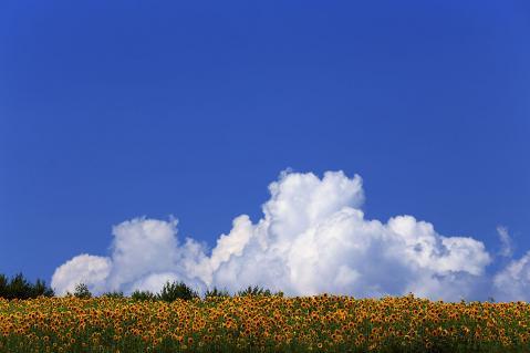 向日葵畑と入道雲