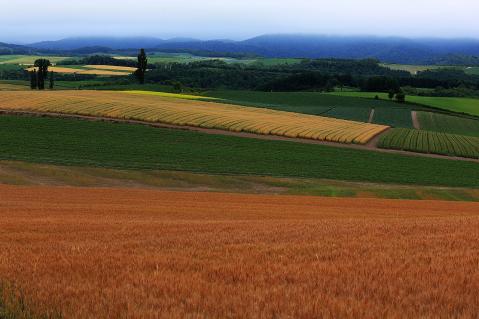 収穫を待つ赤麦