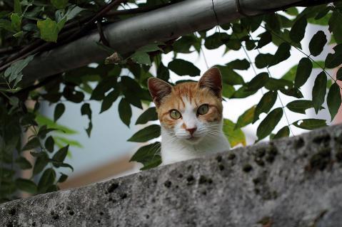 覗き込む茶白猫