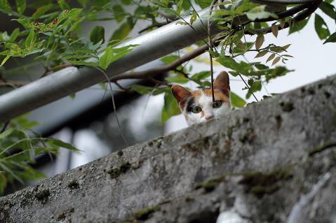 見下ろす三毛猫
