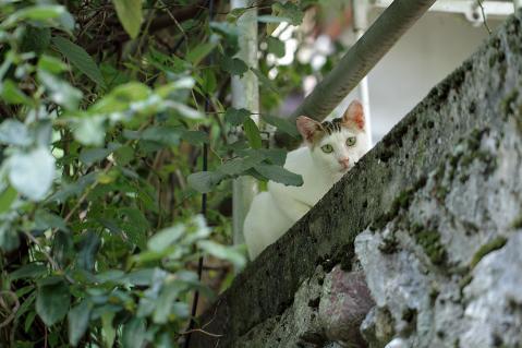 見下ろす白ヅラ猫