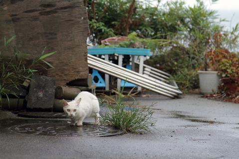 水を飲む白猫